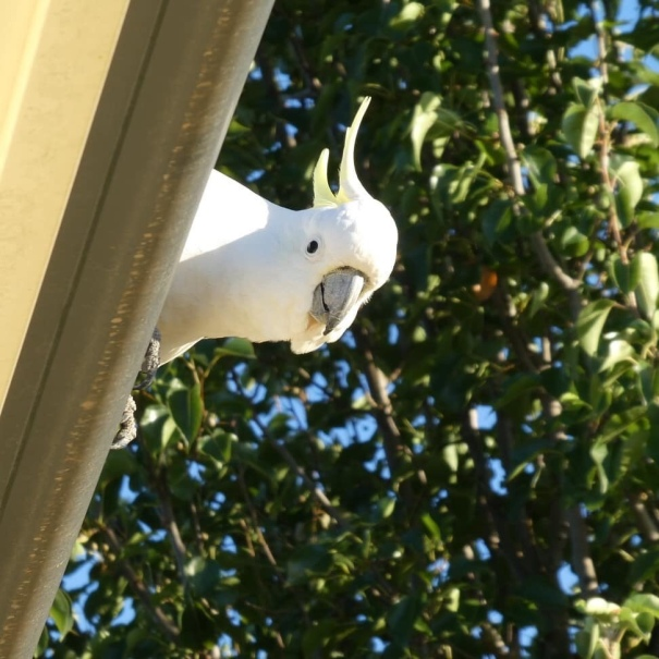 Photo by Anne Atkinson of cockatoo